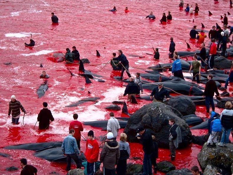 massacre aux Iles Féroé