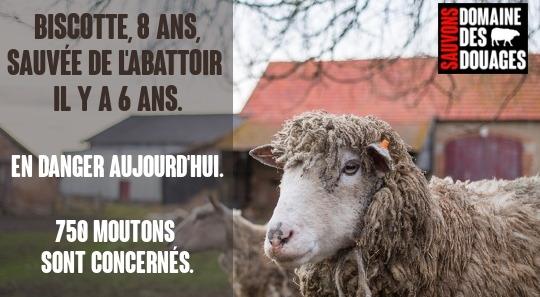 Sauvons ensemble les moutons d'un refuge. Tzylozwimqvgovw-55